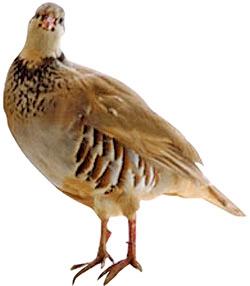 red-leg_partridge
